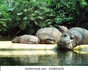Hippos lying on the shore near the water in zoo