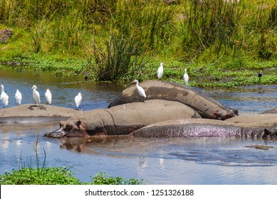 Hippos in a natural water pool in Ngorongoro National Park in Tanzania, Africa.