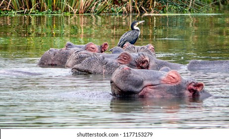 Hippos are not yet friends with the birds who are sitting on one of them. Well they know that with hippos is not easy of acquisition .Lake Naivasha Kenya