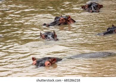 Hippos in the river, Kenya
