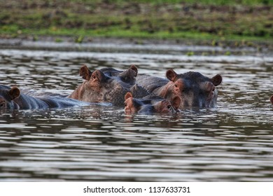 Hippos in Selous Game Reserve, Tanzania