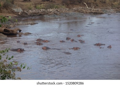 Hippos in Serengeti National Park, Tanzania shot on September 2th.