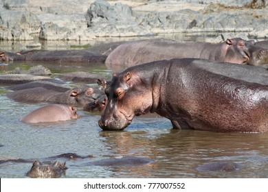 Hippos in the Serengeti Wildlife Conservation Area
