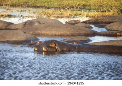 Hippos swimming in river in Chobe National Park, Botswana, Africa