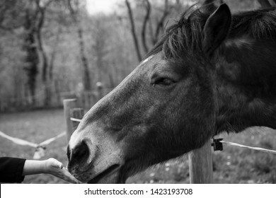 Hippotherapy. Child lending hand to a horse. Emotional development. Equine therapy for children with autism. Selective focus on kid hand.  Black and white photo.