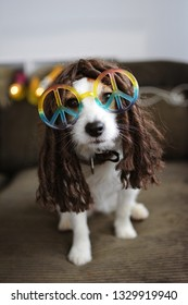 HIPPY DOG COSTUME. FUNNY JACK RUSSELL READY FOR CARNIVAL, NEW YEAR  OR HALLOWEEN PARTY.