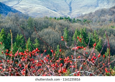 Hips bush with ripe berries. Berries of a dogrose on a bush. Fruits of wild roses. Thorny red dog-rose hips on blurred foreground with forest on mountains in focus on background
