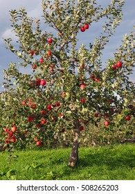 HIROSAKI, AOMORI, JAPAN - OCTOBER 11, 2016: Visiting Hirosaki Apple Park for picking fresh apple experience. Hirosaki Park is the home to over 1300 apples trees with 65 different varieties.