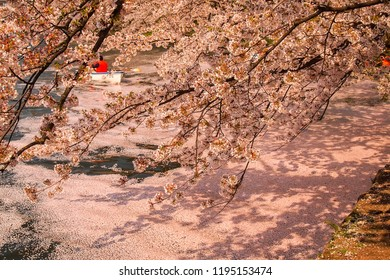Hirosaki Cherry Blossom Festival 2018 at Hirosaki Park,Aomori,Tohoku,Japan on April 28,2018:Cherry tree along the west moat and people in paddle boats