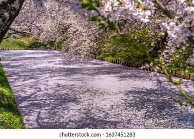Hirosaki city cherry blossom matsuri. Clear blue sky springtime sunny day. Full bloom trees pink flowers starting to fall, Hanaikada petals raft at outer moat. Aomori Prefecture, Tohoku Region, Japan