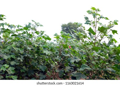 Hisar, Haryana, India, August 7, 2018: Flowering and Fruiting in Cotton. Cotton is a soft, fluffy staple fiber that grows in a boll, or protective case, around the seeds of the cotton plants.