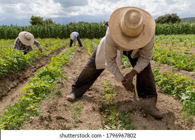hispanic farmers manual amaranthus planting in a Mexico's farming field