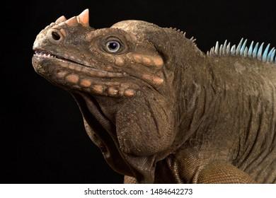 Hispaniolan Rhinoceros Iguana (Cyclura cornuta cornuta)