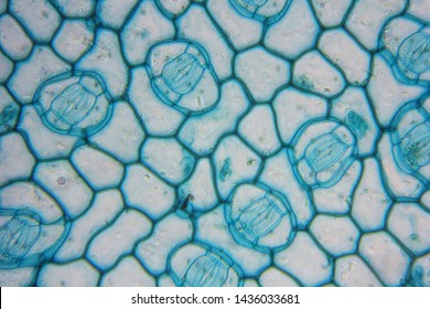 Histological structure of stoma cell or guard cell of leaf under light microscope, selective focus