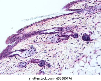 Histology of skin mammal tissue, show epithelium tissue and connective tissue with microscope view