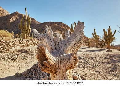 Historic Cactus Environment of Quilmes Ruin in Tucumán Province Aimacha del Valle Desert Pre Columbian Culture Quechua American Ancient Construction Aboriginal Pre-inca Stone Building in Argentina