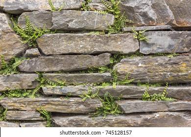 Historic dry slate stone wall with ferns (Maidenhair Spleenwort, Asplenium trichomanes) in the Eifel mountains, Germany. Nature background
