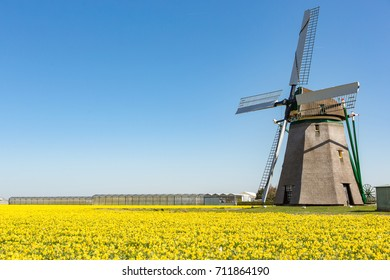 A historical windmill in a field of yellow daffodils on a bright blue sky near the village  Noordwijkerhout in the Netherlands.