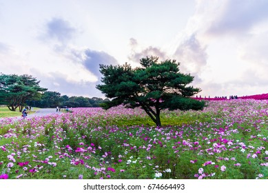 Hitachi seaside park , Ibaraki , Japan