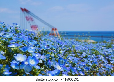 Hitachikaihin National Government Park,Japan