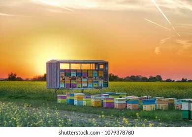 Hive of bees in a rapeseed field at sunset near Bucharest, Romania. Beekeeping concept