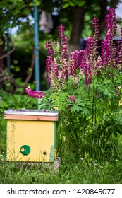 To hive a swarm, to make increase from a colony, make up a nucleus, rearing, rotating brood, to run a bee-yard. Yellow hives for cuttings of honey bees nucleuses in the garden near the lupine