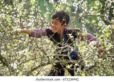 H'mong Ethnic minority child is climbing a tree to pick plums in Moc Chau town, Son la province, Vietnam. Photo taken at: 01/ 02/ 2017.