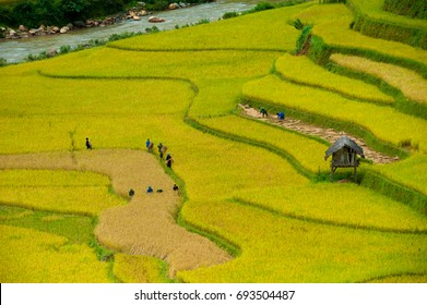 Hmong farmers plant rice on the slopes. Every September, October, the rice fields of nine golden fields create wonderful scenery in Mu Cang Chai district, Yen Bai province, Vietnam. oct 2015