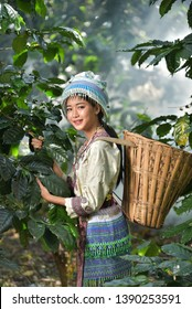 Hmong girl collecting coffee at the coffee plantation Portrait of beautiful young asian lady Akha tribe,Akha hill picking arabica coffee berriesand green on its branch tree at plantation, Chiang Rai T