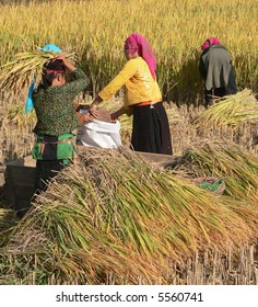 H'mong people harvesting rice in the northern mountain of Vietnam