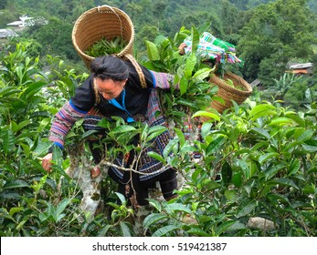 Hoang Su Phi, Ha Giang province, Vietnam - September 25, 2016 : Ethnic women havest tea leaves in the early morning on centenary tea tree with bamboo basket behind in colorful costumes