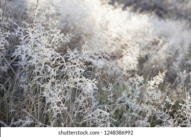 Hoar frost covering common bent