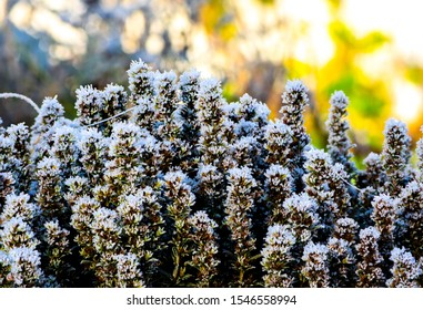 hoar frost ice crystals of first october frost on Summer Savory (Satureja hortensis) plants with bokeh background in morning sunlight