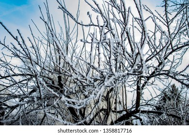 Hoar frost on the apricot tree in Vernon BC