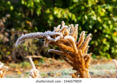 hoar frost on orange amaranth seed stands in October frost and warm morning light
