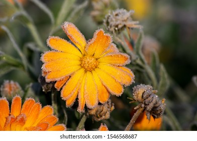 hoar frost on orange and yellow calendula flower blossoms in October frost and warm morning light