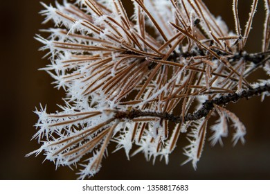 Hoar frost on pine needles in Vernon BC