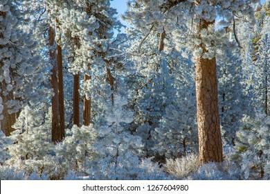 Hoar frost on ponderosa pine trees in a forest near Bend, Oregon