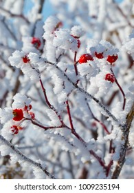 Hoar-frost covered red berries in winter