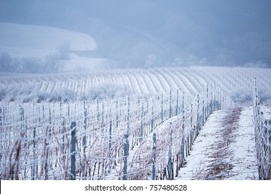 Hoarfrost icing frosting in Slovakia vineyard, frozen vineyard