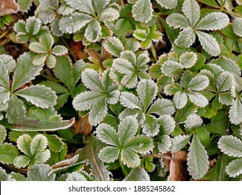hoarfrost on goose weed in winter