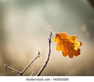 Hoarfrost on oak leaves on branch. Winter abstract macro.