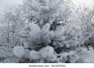 Hoarfrost on the pine in the winter forest.