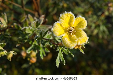 Hoarfrost Shrubby Cinquefoil flower