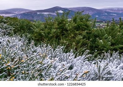 Hoarfrost and snow covering bloomed yellow gorse flowers on a cold winter morning in Wicklow Mountains, Ireland.