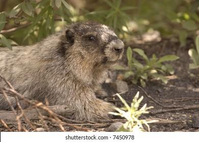 Hoary marmot.