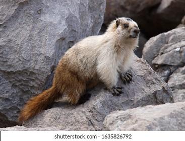 Hoary marmot, Banff National Park, Canada