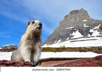 Hoary marmot at Glacier National Park, Montana, U.S.A.