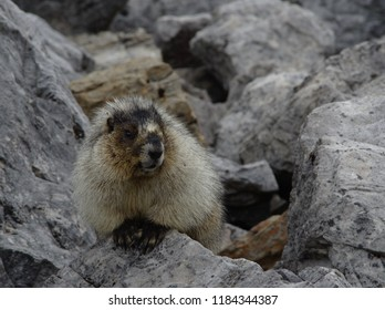 Hoary marmot (marmota caligata) guards its territory among the rocks