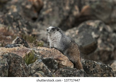 A Hoary Marmot (Marmota caligata) suns on a rocky slope near its burrow at or above tree line in Denali National Park, Alaska.